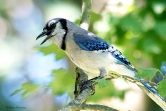 Blue Jay (Anne Ahearne) Tags: wild bird animal nature tree bokeh beautiful bluejay songbird birdwatching
