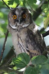 Waldohreule (3/4) (Vasquezz) Tags: vogel bird eule owl waldohreule asiootus longearedowl coth coth5 cothgg sunrayssc sunrays5 alittlebeauty specanimal specanimalphotooftheday naturethroughthelens ngc fantasticnature npc borntoflyrcg amazingnaturesaa