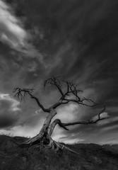 Walking dead (charhedman) Tags: 2018flickrcation alberta burmistree monochromatic blackandwhite deadtree looksverycreepytomeinblackandwhite clouds