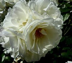 Profile of a White Rose. (jenichesney57) Tags: white petals light garden panasomiclumix