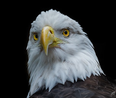 (jgaosb) Tags: funny head portrait bald eagle