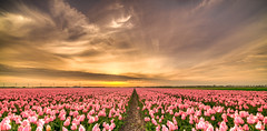 There are no pink tulips. (Alex-de-Haas) Tags: 11mm adobe blackstone d850 dutch hdr holland irix irix11mm irixblackstone lightroom nederland nederlands netherlands nikon nikond850 noordholland photomatix photomatixpro beautiful beauty bloem bloemen bloementeelt bloemenvelden cirrus cloud clouds cloudscape floriculture flower flowerfields flowers landscape landschaft landschap lente lucht mooi polder skies sky skyscape spring sun sundown sunset tulip tulips tulp tulpen wolk wolken zonsondergang cloudsstormssunsetssunrises
