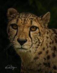 Cheetah (yadrad) Tags: cheetah cat bigcat exmoor exmoorzoo exmoorzoologicalpark wildlife zoo carnivore ngc