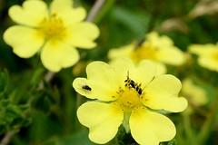 Hohes Fingerkraut 1 (tama*) Tags: wildnisgarten wildpflanzen