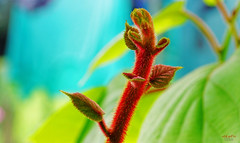New shoot on the Kiwi (Hayward) (Lutz Koch) Tags: kiwi hayward pflanze obst trieb shoot sprout sprössling spross lő tirer sparare atirar disparar növény kert elkaypics lutzkoch szentpéterúr nemesszer ungarn hungary magyarorszag zala zalakomitat gyümölcs actinidiadeliciosa bokeh
