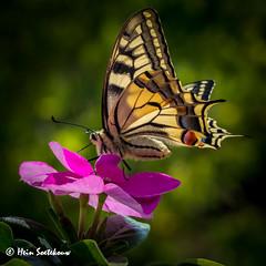 natuur- (15a) (heinstkw) Tags: bloemen natuur natuurenlandschap vlinders vogels wat