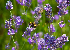 Busy Bees @ SE15.. (Adam Swaine) Tags: bumblebee bees lavender naturelovers nature summer naturesfinest macro peckhamryepark england english wildlife britain canon uk londonparks beautiful flora flowers purplegreen petals insects