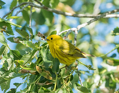 Yellow Warbler (Boulder Flying Circus Birders) Tags: yellowwarbler setophagapetechial yellowwarblercolorado yellowwarblerboulder wildbirdboulder wildbirdcolorado boulderflyingcircusbirders freebirdwalk saturdaymorningbirders waldenpondswildlifehabitat bouldercountyopenspace sawhillponds cityofboulderopenspaceandmountainparks colorado gunbarrel kevinrutherford fernlakephotography