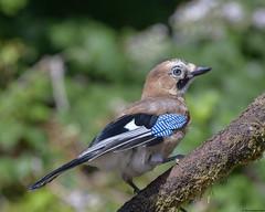 Jay : Garrulus glandarius (Jerry Hawker) Tags: jay garrulusglandarius willsbridge bristol garden bird perch perched