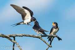 Swallow (Ponty Birder) Tags: g b wheeler garywheeler pontybirder swallow birds wales hirundorustica