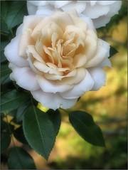 (Tölgyesi Kata) Tags: rosen rosa rosier rose rózsa blossom botanikuskert botanicalgarden withcanonpowershota620 macro vácrátótibotanikuskert nemzetibotanikuskert kordes vácrátót fleur virág flower summer nyár