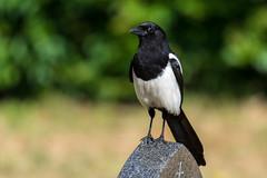 Magpie (Mel Low) Tags: magpie bird wildlife britishwildlife lowestoft suffolk nikon nikond7200