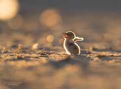 Least Tern chick (suraj.ramamurthy) Tags: nikkor500mm nikond500 longislandbeaches leasttern
