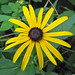 Rudbeckia hirta (black-eyed susan) (Newark, Ohio, USA) 1