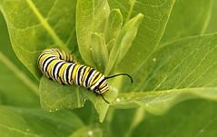 Chenille de Monarque / Monarch caterpillar (alainmaire71) Tags: insecte insect chenille caterpillar lepidoptera lépidoptère papillon butterfly danaidae danausplexippus monarque monarch nature quebec canada