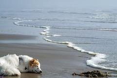 28/52 Nadja napping, unaware of the rising tide (utski7) Tags: 52weeksfordogs nadja napping beach oregonbeach summer2018 vacation sun waves