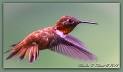 Return of the Rufous (ctofcsco) Tags: colorado coloradosprings unitedstates usa 1800 2018 400mm bokeh canon ef200mmf2lisusm20x eos1dmarkiv esplora explore explored f40 flashoffdidnotfire geo:lat=3893083779 geo:lon=10489145279 geotagged gleneyrie iso2000 nature northamerica shutterspeedpriorityae spot telephoto wildlife bird macro animal renown pretty digital photo pic extender teleconverter supertelephoto eos 1d eos1d 1div 1dmarkiv mark4 markiv 2x 20x ef2x ef2xii