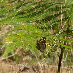 Speckled Wood (Colin Und€rhill) Tags: speckledwood butterfly haywood warwickshire 2018 summer britishisles species butterflies uk naturalhistory bracken woods woodlands