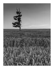 cornfields (markmcneill22) Tags: nikon nature naturephotography nikond810 cornfield farms lancashire landscapephotography fylde