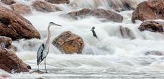 Great Blue Heron (zeroskilz) Tags: mike timmons indiana bird nature wildlife heron great blue aba miketimmons