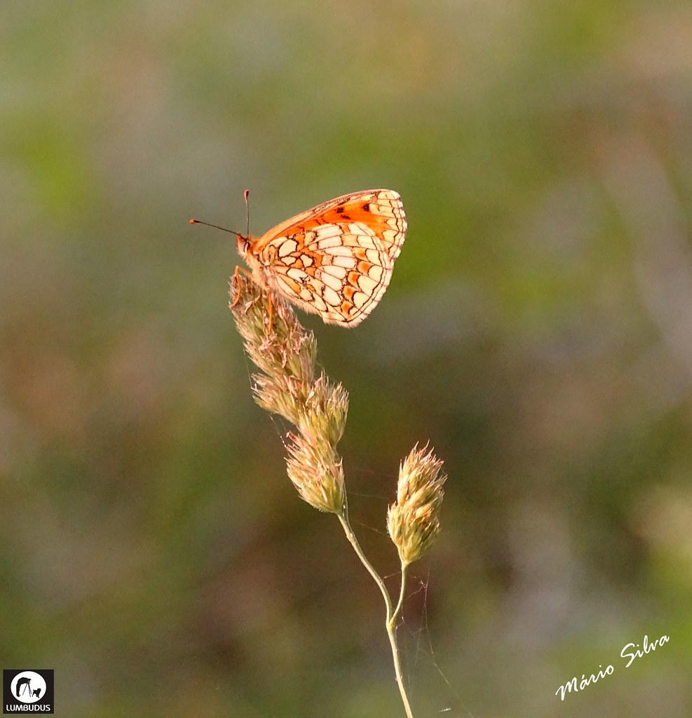 Águas Frias (Chaves) - ... borboleta em repouso na ponta da planta ...