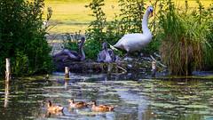 Surveillance (Alexandre LAVIGNE) Tags: hdpentaxdfa150450mm pentaxk1 cygne cygnon swan arbres canards colverts couleur famille family k1 lumière nature oiseau abbeville picardiehautsdefrance