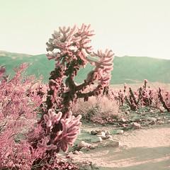 (Joann Edmonds) Tags: rollfilmweek rollfilm film mediumformat 120 yashica12 tlr lomonchromepurple chollacactusgarden joshuatreenationalpark jtnp desert flora cholla pink strangeworlds landscape otherworldly colorshift