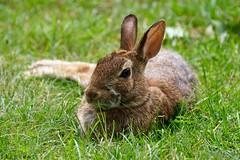 Centrefold (flipkeat) Tags: nature wildlife rabbit cottontail closeup funny port credit animal sony a77ii sylvilagus floridanus