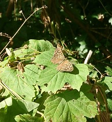 Speckled wood butterfly (andreabailey50) Tags: speckled wood butterfly insect