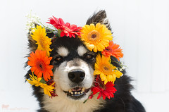 7/12/B taivas - flower child (sure2talk) Tags: flowerchild taivas finnishlapphund gerberas flowers colours bright nikond7000 nikkor50mmf14gafs flash speedlight sb900 offcamera diffused softbox 12monthsfordogs 12monthsfordogs18 712b