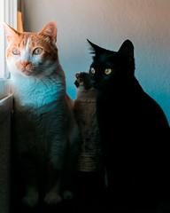 Boby y Bagheera Orange&Teal (fcojavier1991) Tags: nikon nikond3300 nikkor50mm orangeteal pet pets animals animales mascotas cat cats dog nice beautiful beauty adorable