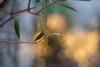 Zenit Jupiter-8 red Л 5cm ƒ/2 - DSCF1643 (::nicolas ferrand simonnot::) Tags: zenit jupiter8 зенит юпитер8 red л 5 cm ƒ2 version pt3060 1959 | 9 blades aperture m39 ltm paris 2018 manufactured ussr by kmz krasnogorsk mechanical works flower rose bokeh depth field color green pink purple white vintage manual russian prime lens extérieur profondeur de champ fleur plante night light bubble yellow blue macro effet arbre tulip jardin