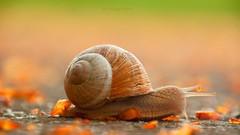 Helix pomatia (Weinbergschnecke) (Veitinger) Tags: schnecke weinbergschnecke tier animal ground boden groundlevel 169 sony tamron tamron16300 natur nature slug