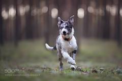 Wizard (KevinBJensen) Tags: wizard dog pet border collie puppy forest spring poland