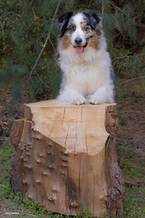 Lumbering Aussie (Jasper's Human) Tags: aussie australianshepherd dog log wood