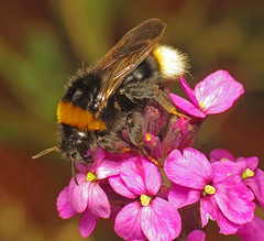 Cuckoo Bumblebee (Martin Cooper Ipswich) Tags: bombus vestalis terrestris cuckoo parasite hymenoptera bumblebee bee erysimum linifolium perennial wallflower flower garden ipswich suffolk bowlessmauve raynox