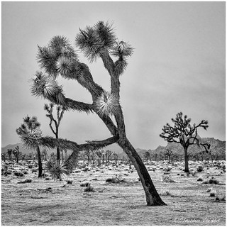 - Joshua Tree in the Rain -