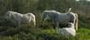 Héron garde-boeuf - Lattes (Marc ALMECIJA) Tags: oiseau cheval bird horse camarguais lattes nature wildlife outdoor outside aves vogel