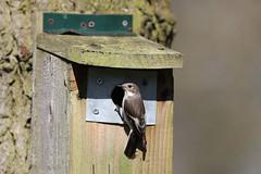 Pied Flycatcher (Edwyn Anderton) Tags: flycatcher piedflycatcher femalepiedflycatcher peakdistrict padleygorge padley longshaw longshawestate