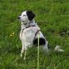 Winnie with dandelion (Claude@Munich) Tags: dog black white tricolor spotted grass dandelion claudemunich winnie hund flecken punkte dreifarbig wiese löwenzahn