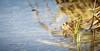 Crapaud commun (Bufo bufo) (Romain.Decoin) Tags: amphibien amphibiens frog crapaud toad mare étangs ponds nature beautiful macro commun bufo eau animal