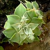 Dudleya cymosa, CANYON DUDLEYA/ROCK LETTUCE (openspacer) Tags: crassulaceae dudleya lospadresnationalforest montereycounty rocklettuce