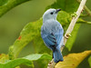Blue-gray Tanager, Trinidad (annkelliott) Tags: trinidad island caribbean west indies asawrightnaturecentre nature wildlife ornithology avian bird birds songbird tropical neotropical bluegraytanager thraupisepiscopus thraupidae sexesaresimilar blue backview perched branch tree bokeh leaves foliage outdoor 20march2017 fz200 fz2004 annkelliott anneelliott ©anneelliott2017 ©allrightsreserved