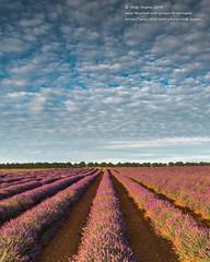Lavender fields at Heacham (viewfinder.general) Tags: thornham fullmoon hightide