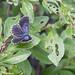 Silbergrüner Bläuling (Lysandra coridon)