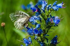 Route du col de La Trappe (Ariège) (PierreG_09) Tags: ariège pyrénées pirineos couserans ustou latrappe séracdustou flore flor fleur plante insecte papillon lépidoptère vipérine echiumvulgare semiapollon parnassiusmnemosyne occitanie midipyrénées