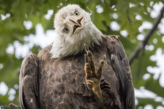 Bald Eagle Waving (archs21) Tags: 800mmlens canon70d baldeagles long island new york centerport canon stevenarchdeacon oncueenterprises photography nature eagle wild