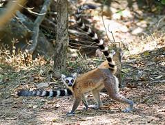 Katta (vil.sandi) Tags: katta ringtailedlemur lemurcatta endemic isalonationalpark madagascar feuchtnasenprimat lemuridae
