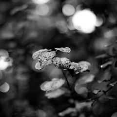 Mist Pooling On Leaves 013 (noahbw) Tags: d5000 dof nikon potawatomiwoods abstract blackwhite blackandwhite blur bokeh branches bw depthoffield dreamlike dreamy droplets forest leaves light monochrome natural noahbw rain shadow square summer trees water waterdrops wet woods