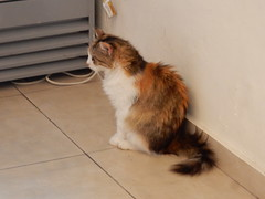 Lindos Cat (deltrems) Tags: greek greece rodos rhodes island hellas lindos animal cat kitten puss pussy pussycat feral
